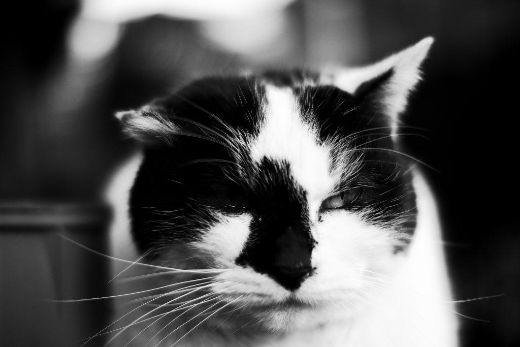 谷中の猫 ネコ cat