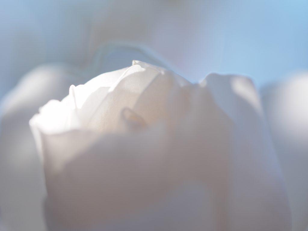 薔薇 花びら マクロ