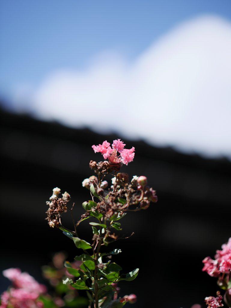 サルスベリ 花 ピンク