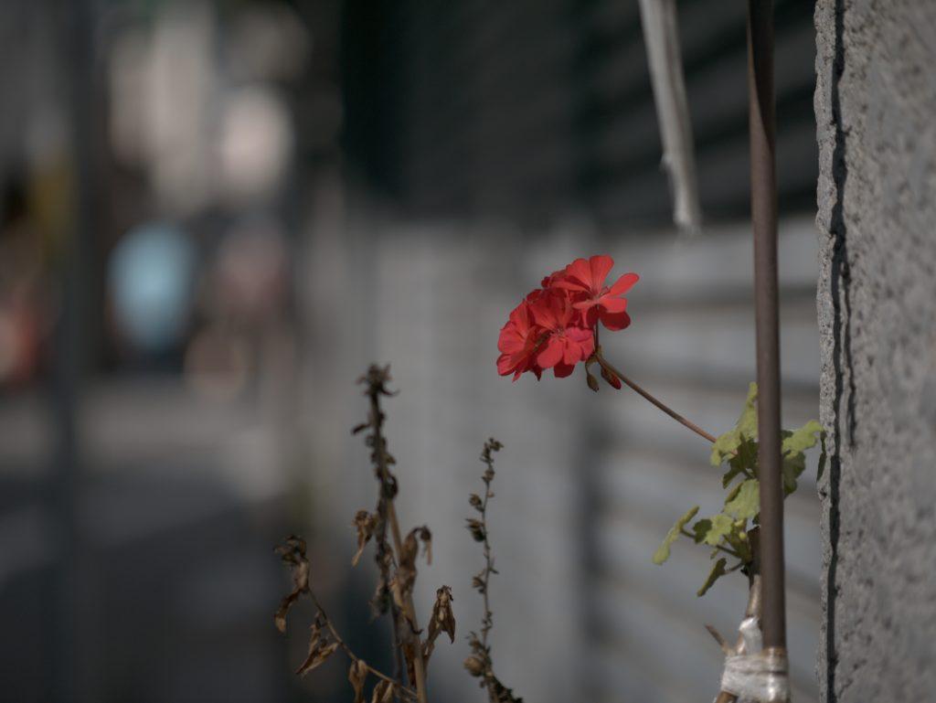 谷中 花 赤い花