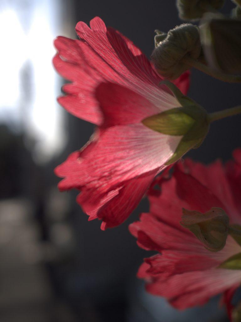 谷中 花 立葵 葵 赤 hollyhock