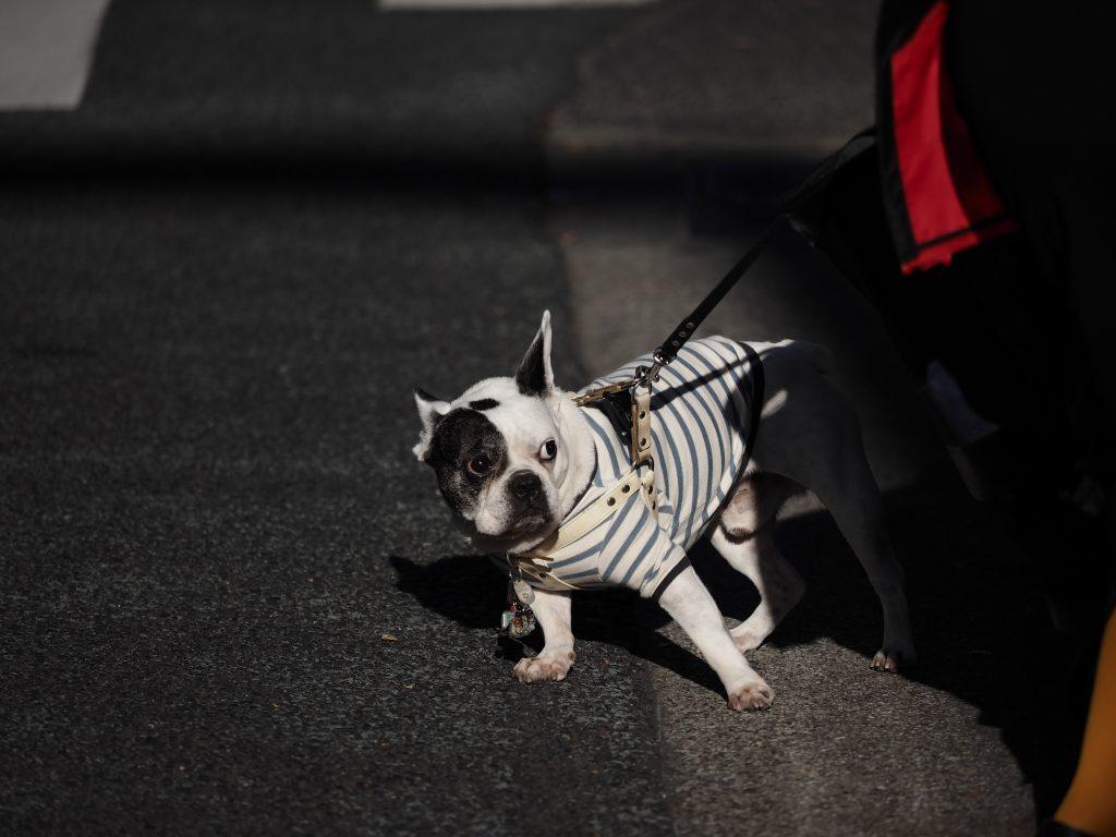 銀座 犬 フレンチブルドッグ