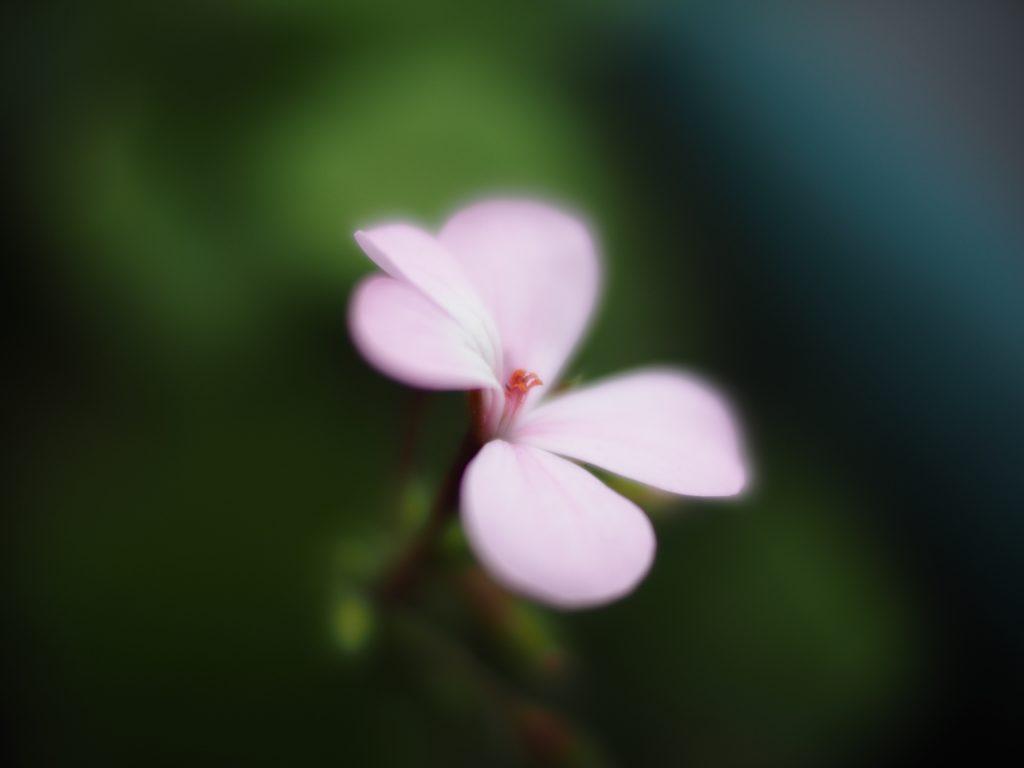 淡い花 花 フォクトレンダー
