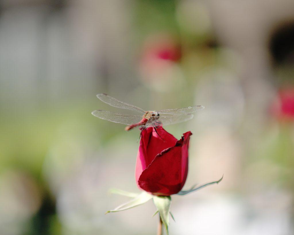 薔薇 蜻蛉 赤とんぼ Rose