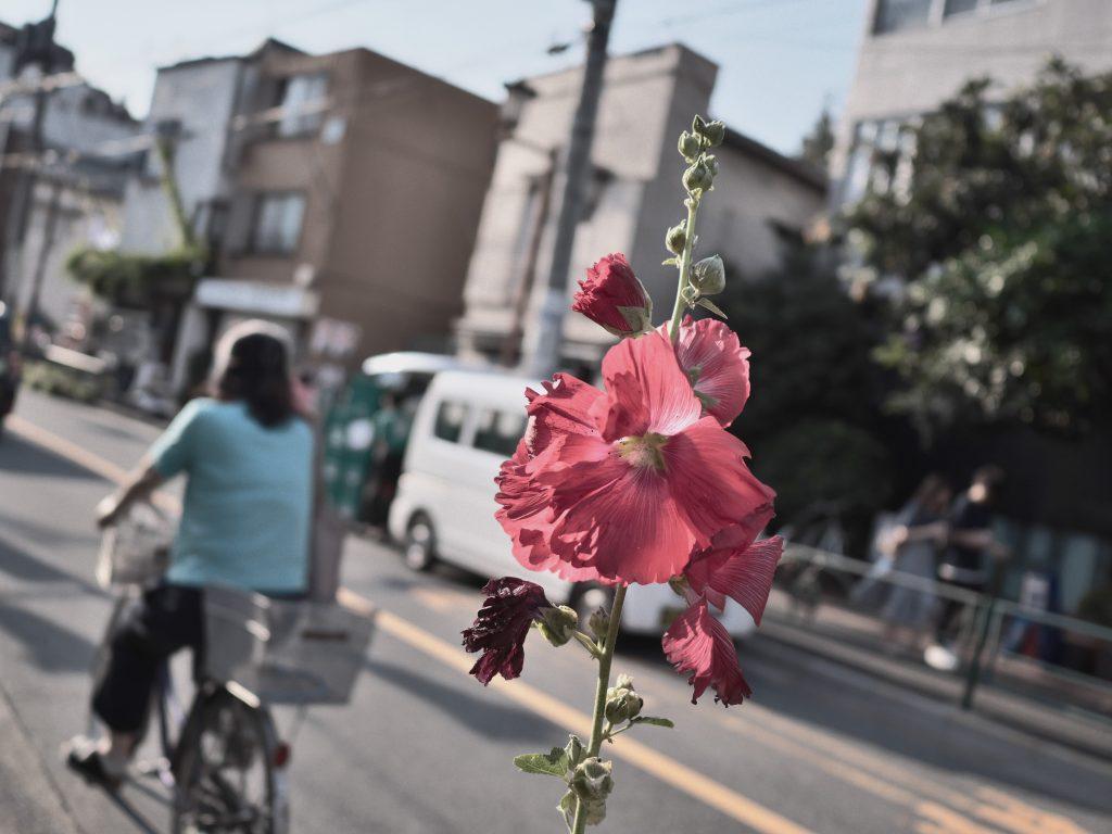 タチアオイ 葵 赤