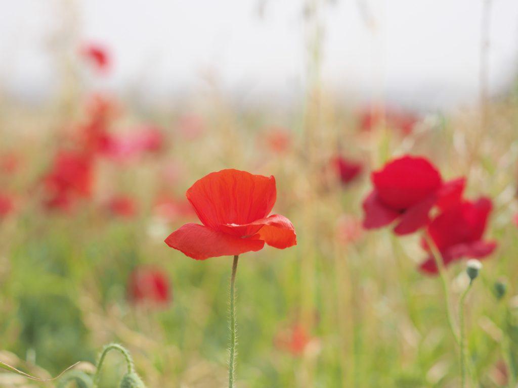 赤い花 ポピー